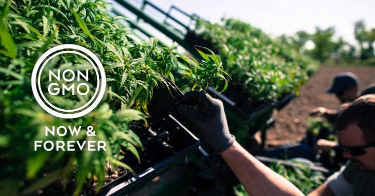 GMO Free Whole-Plant CBD Hemp Oil
