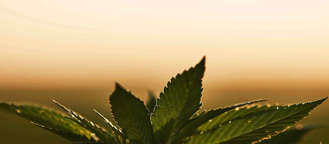 Learn the difference between hemp and marijuana
