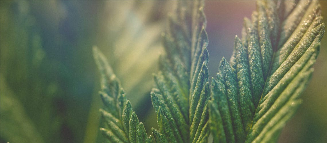 The difference between Charlotte's Web, Hemp Seed Oil, Hemp CBD Oil and Marijuana