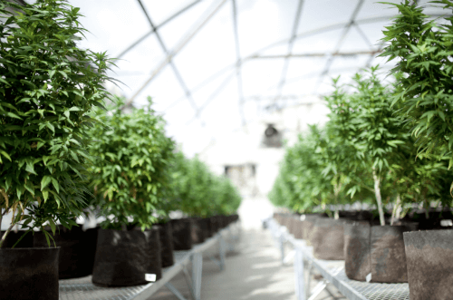 Expecting Results from CBD